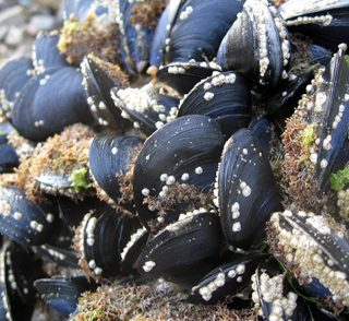 Tomales Bay mussels