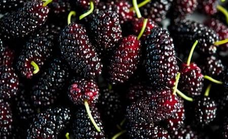 Lots of ripe mulberries