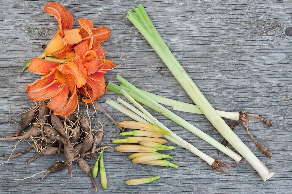 Parts of daylilies that are edible