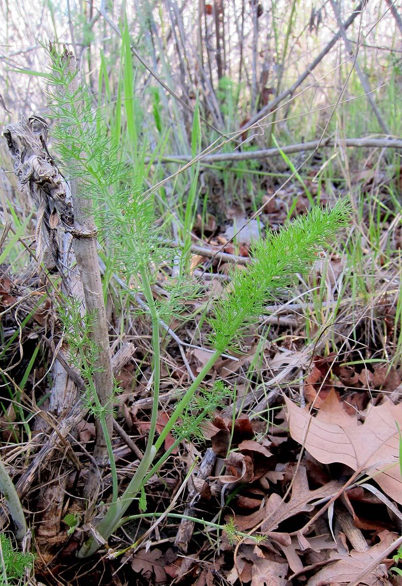 Baby wild fennel
