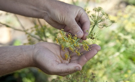 Collecting fresh fennel pollen