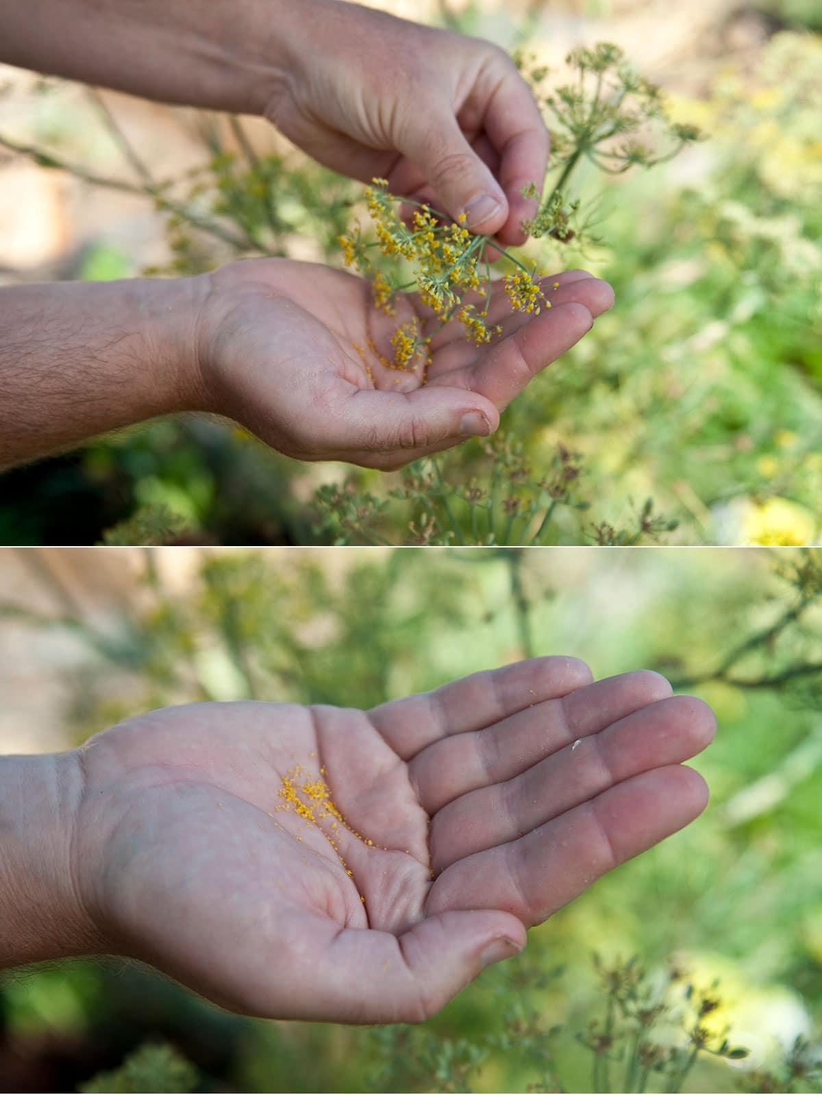 Hank Shaw gathering wild fennel pollen