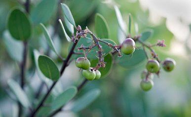 manzanita berries on the bush