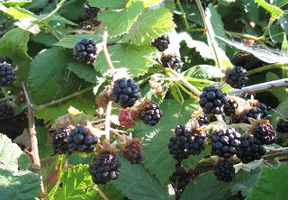 A close up of blackberries