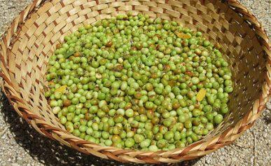 manzanita berries in basket