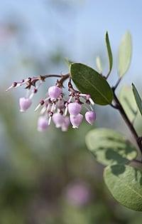 Manzanita flowers