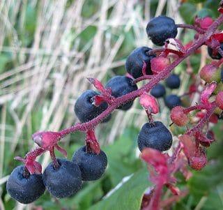 salal berries