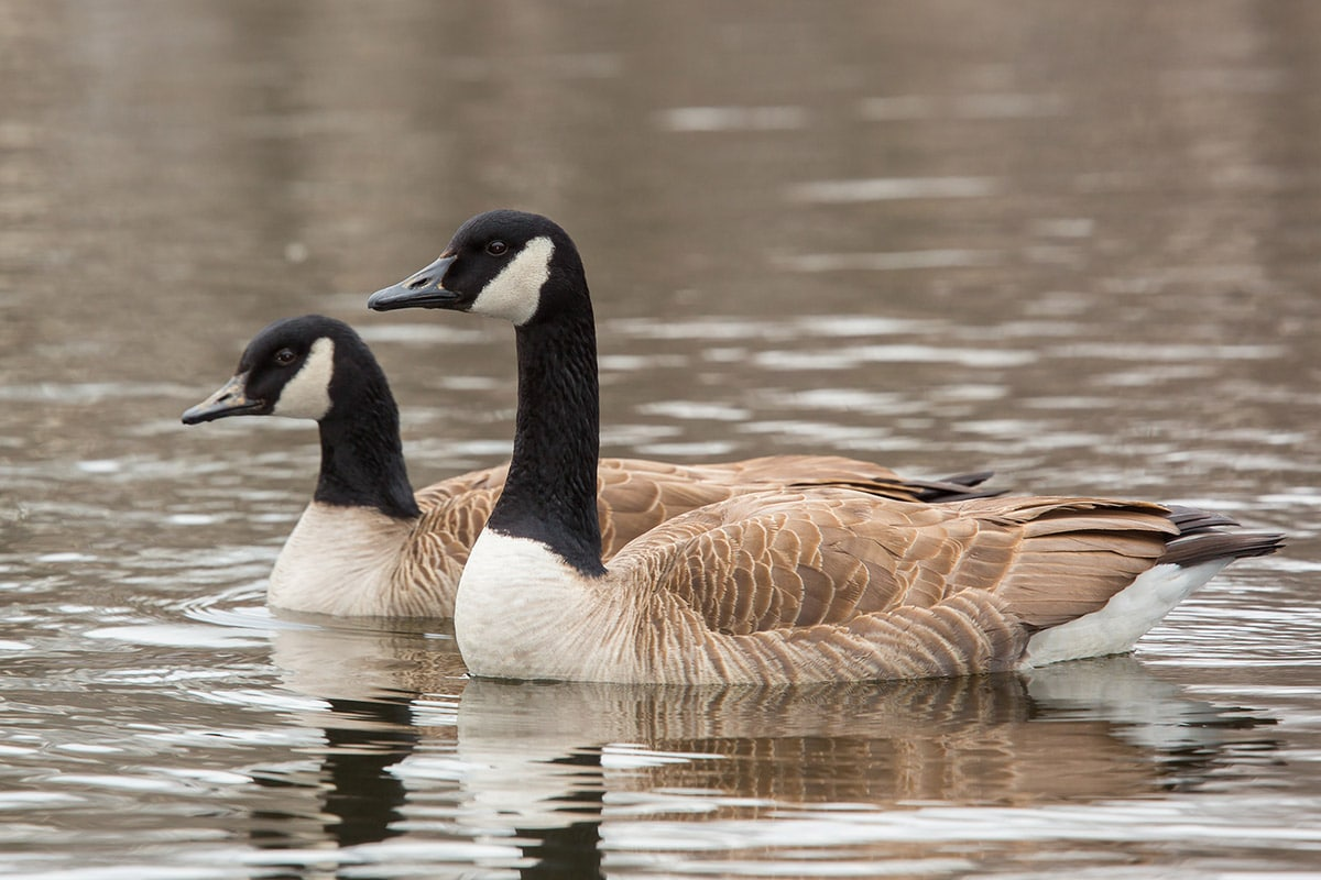 Two Canada geese swimming