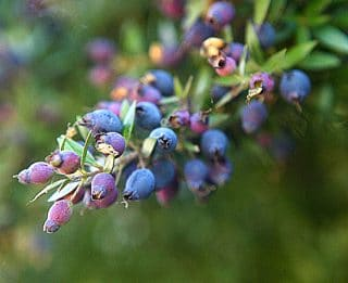A close up of a myrtle berries.
