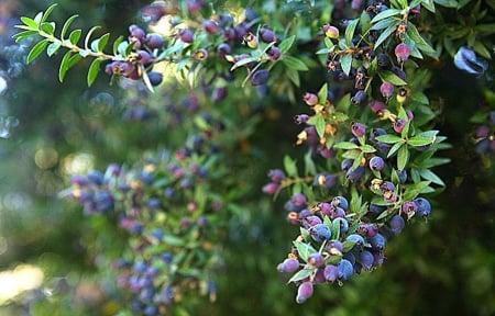 myrtle bush