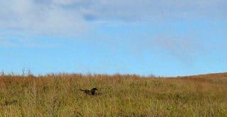 Chris Niskanen hunting sharptail grouse