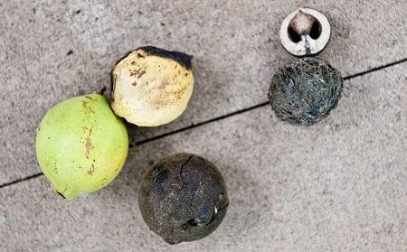 black walnuts in various ripeness