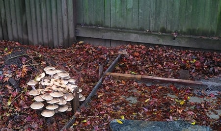 honey mushrooms in yard