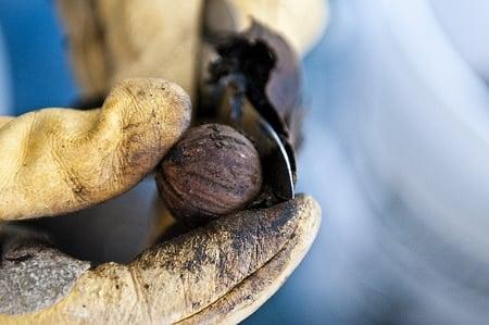 black walnut, juglans hindsii