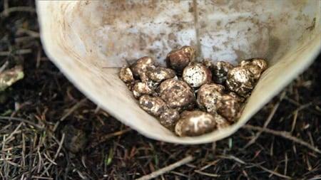 jug of white truffles