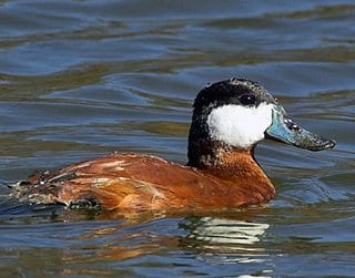 Ruddy Ducks, The Original Butterball