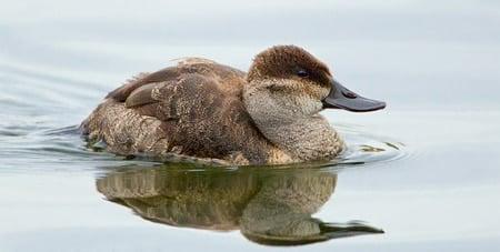 ruddy duck hen