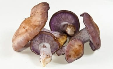 group of blewits
