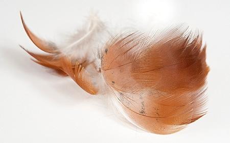 Northern shoveler feathers