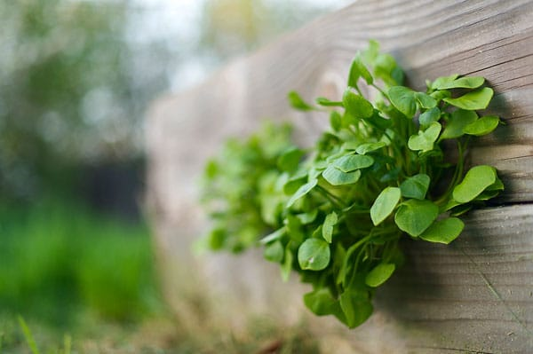 Miner's lettuce growing in a crack on a raised bed
