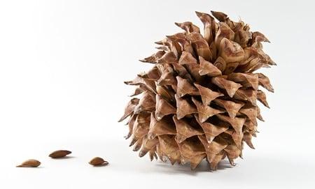 gray pine pinecone