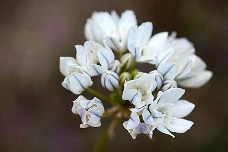 white brodiaea flowers