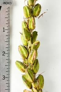 camas seed pods in detail