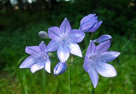 ithuriel's spear flowers