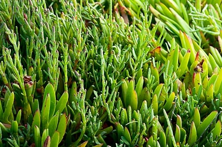 sea beans and ice plant