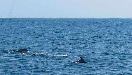 Pilot whales swimming.