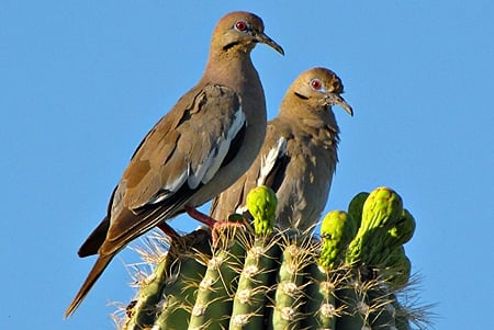 White winged doves on a cactus