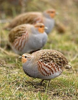 Several Hungarian partridges walking around.