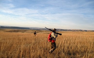 Hungarian partridge hunting in Montana