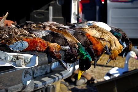 Dead ducks on the tailgate
