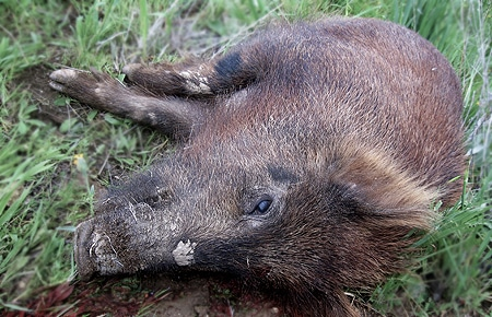 A dead wild pig in the grass