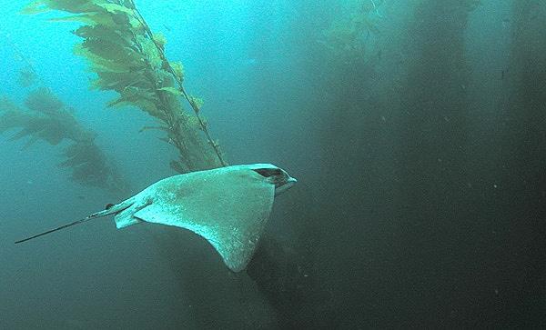 Bat ray swimming in the kelp