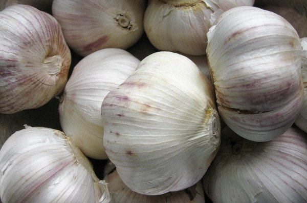 Garlic heads ready to be preserved