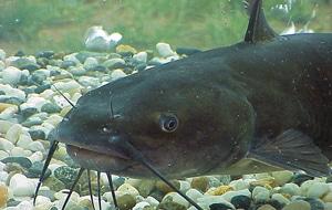 A catfish under water