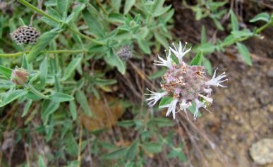 mountain pennyroyal flower
