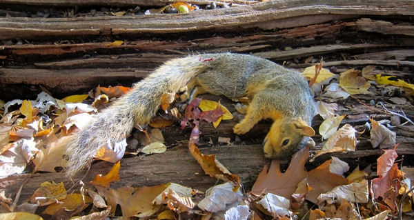 How To Cut Up A Squirrel For Cooking Hunter Angler Gardener Cook