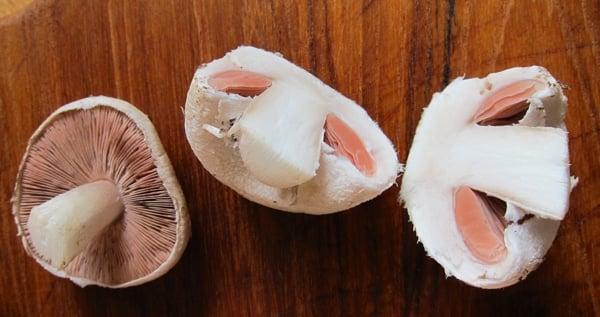 Agaricus campestris cut in half