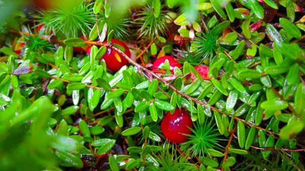 Image result for wild cranberries