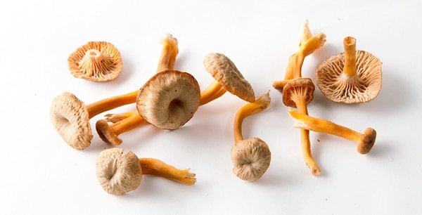 Studio shot of yellowfoot chanterelles