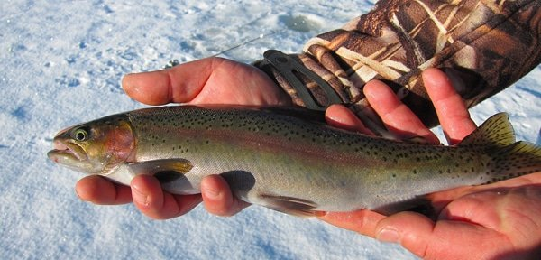 A nice rainbow trout caught ice fishing