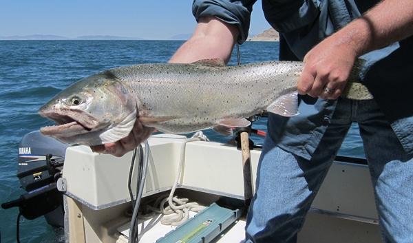 Pyramid Lake trout
