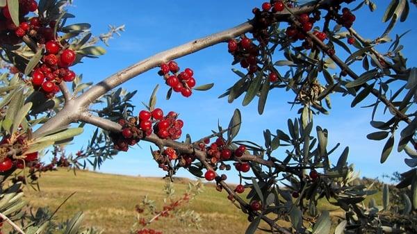 buffalo berries on the bush