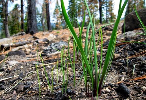 Sierra wild onions
