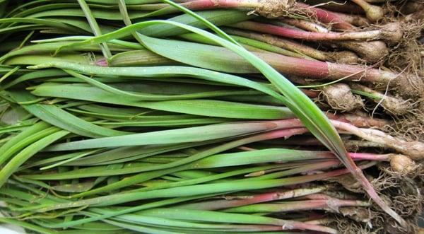 California wild onions