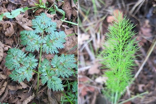 Hemlock and wild fennel side by side.