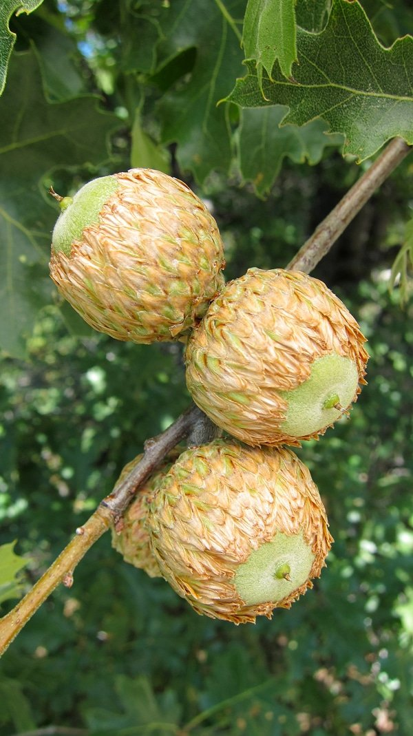 California black oak acorns on tree